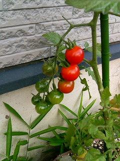 虎美ちゃんの家庭菜園