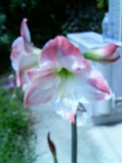 アマリリス咲きました